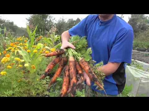 Как применять опилки для удобрения моркови?