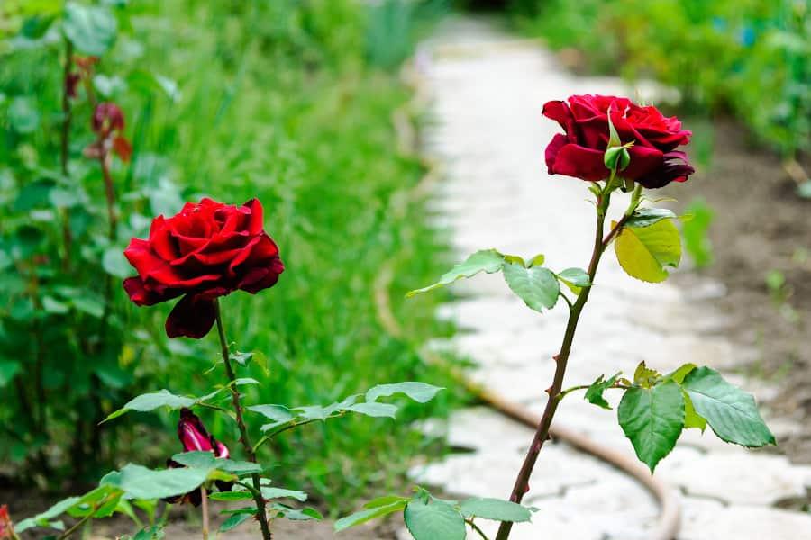 Подкормка роз весной и летом: как и чем лучше удобрить для пышного и продолжительного цветения