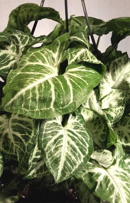 Сингониум — растение под знаком девы