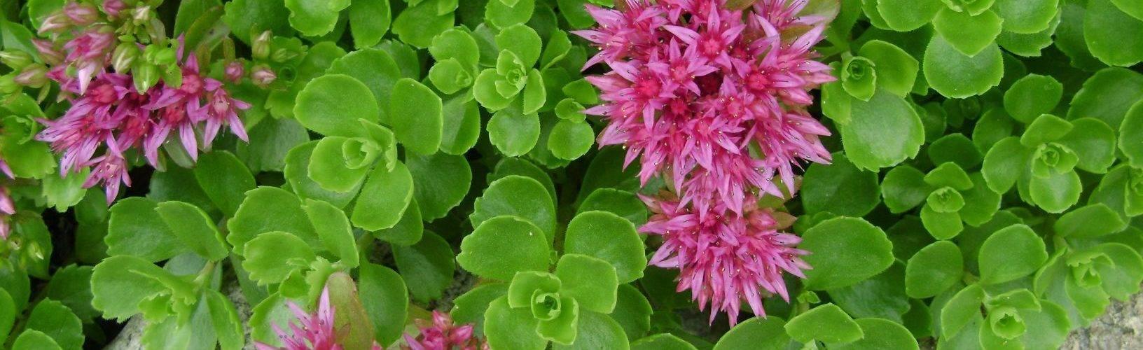 Как вырастить зверобой из семян на дачном участке. практические советы