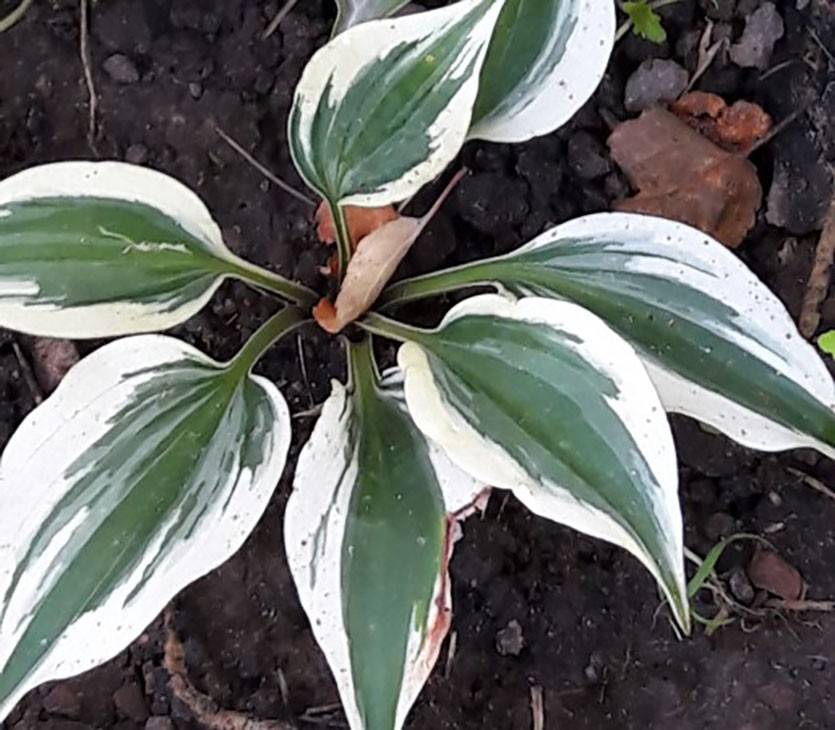 Хоста – посадка и уход, виды цветка с фото
