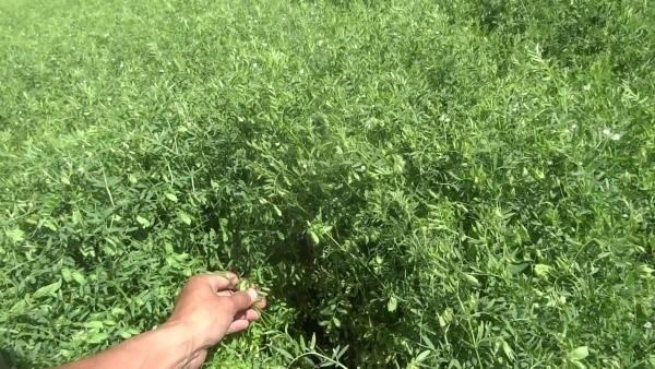 Выращивание чечевицы – тонкости посева и ухода