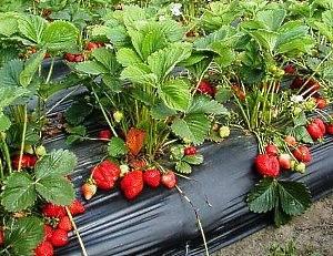 Как посадить клубнику семенами на рассаду