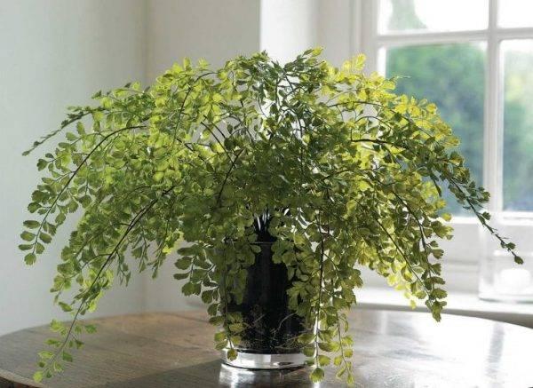 Адиантум дома: выращивание без проблем