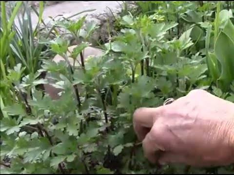 Черенкование хризантем как искусство