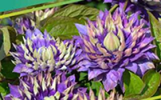 """""""корневин, сп"""" (5 г): инструкция по применению для растений"""