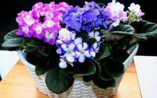 Описание и секреты выращивания пионов «комманд перформанс»