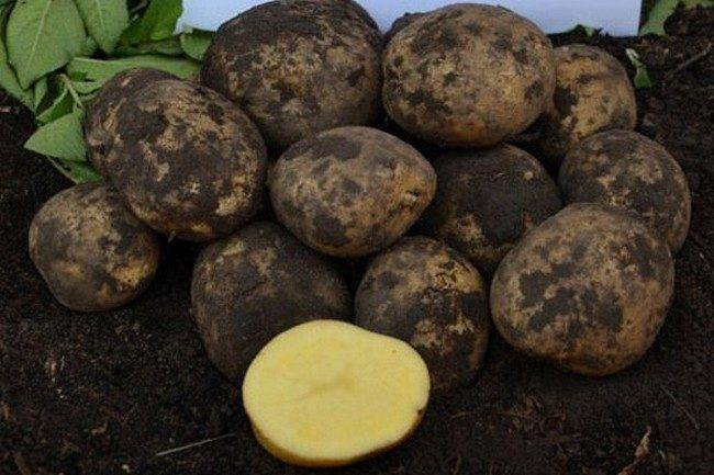 Топ-7 популярных сортов картофеля, проверенных временем