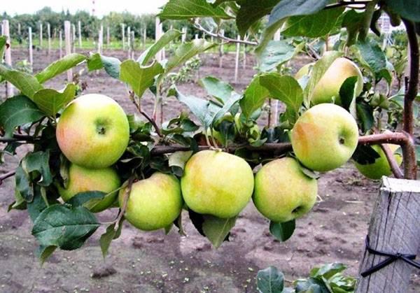 Северный синап: описание сорта и особенности выращивания
