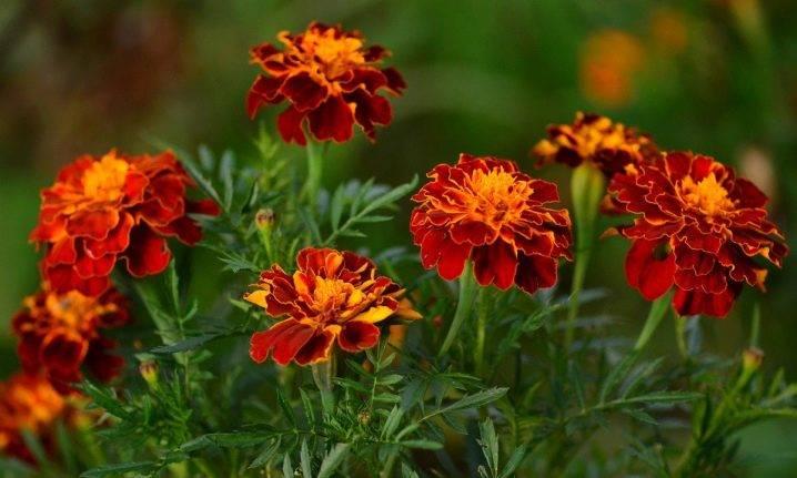 Бархатцы: посадка в грунт, выращивание и сорта