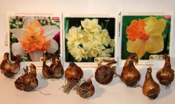 Выбираем луковицы нарциссов для посадки в саду