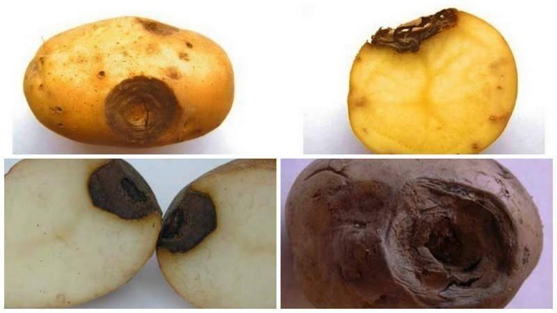 Все о болезнях картофеля