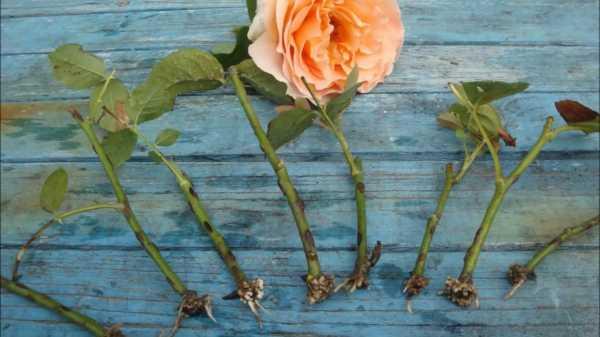 Как получить саженец розы из подаренного букета