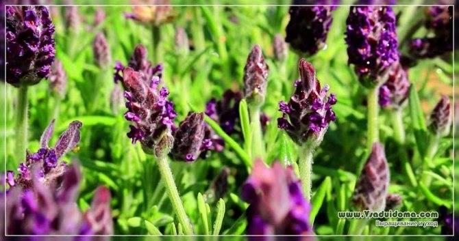 Выбираем и выращиваем лучшие сорта пеларгонии из семян в домашних условиях