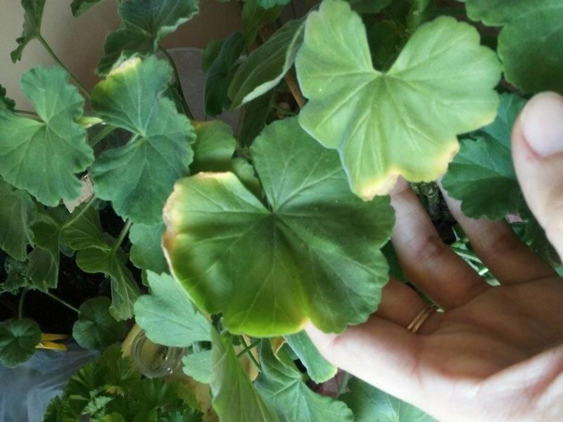 Что делать, если желтеют листья у герани, чем подкормить и поливать?