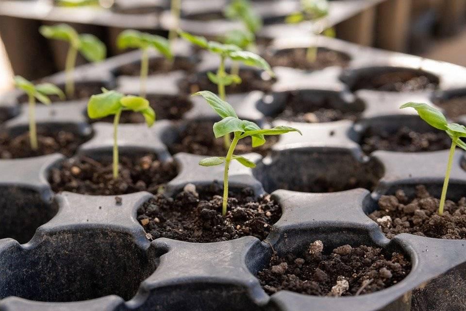 Как вырастить кедр из орешка — секреты крепких и здоровых домашних саженцев