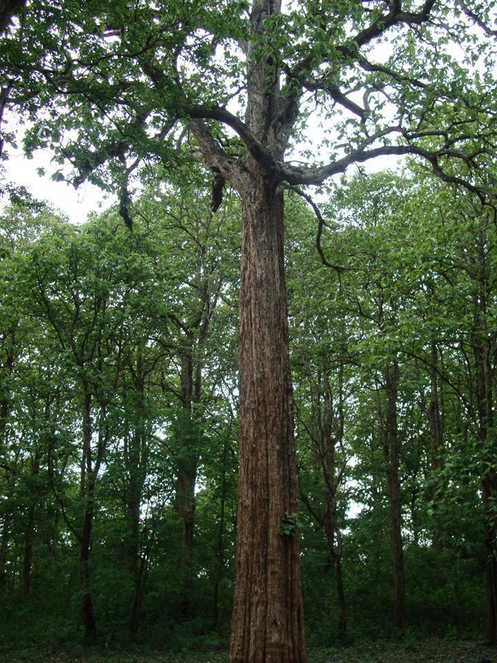 Интересные и необычные факты о дереве ясень