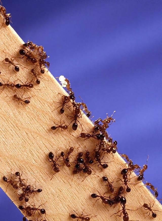 Все о разносчиках тли муравьях