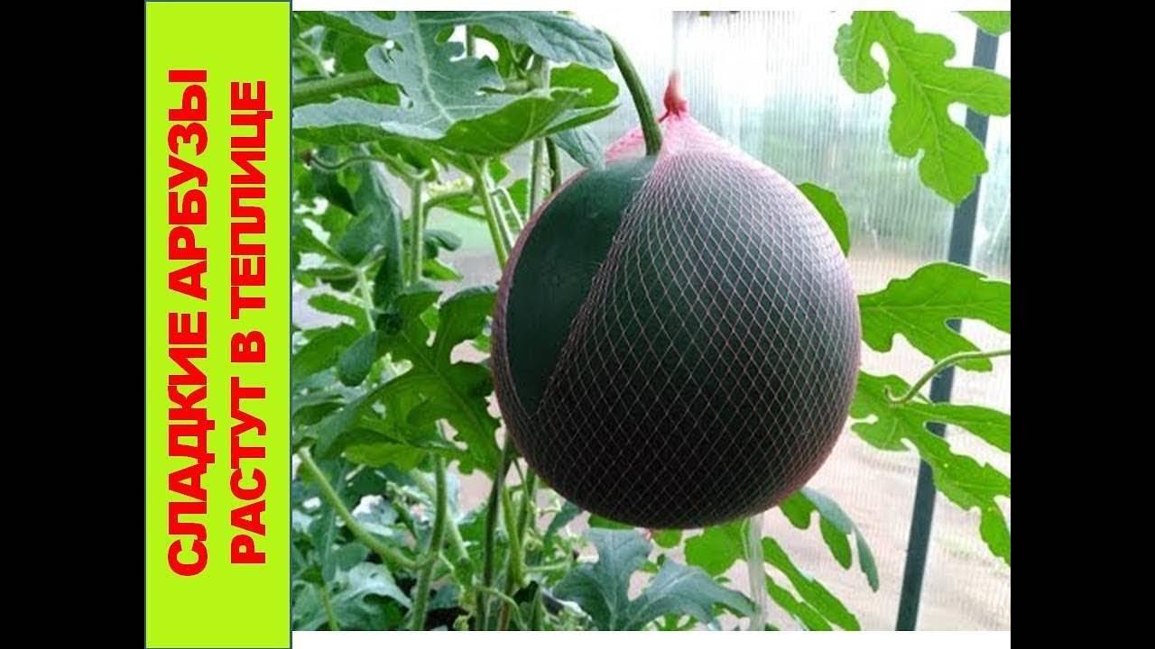 Как выращивать арбузы в теплице из поликарбоната: агротехника