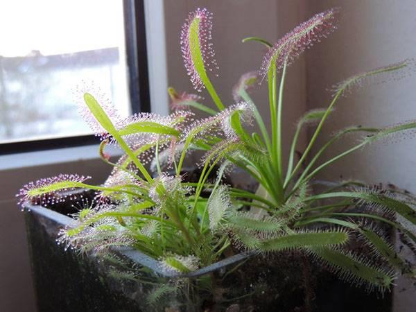 Росянка — растение хищное, уход в домашних условиях