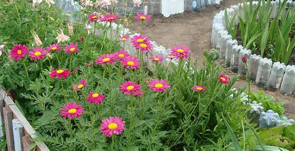 Выращивание пиретрума из семян даст чудесный результат