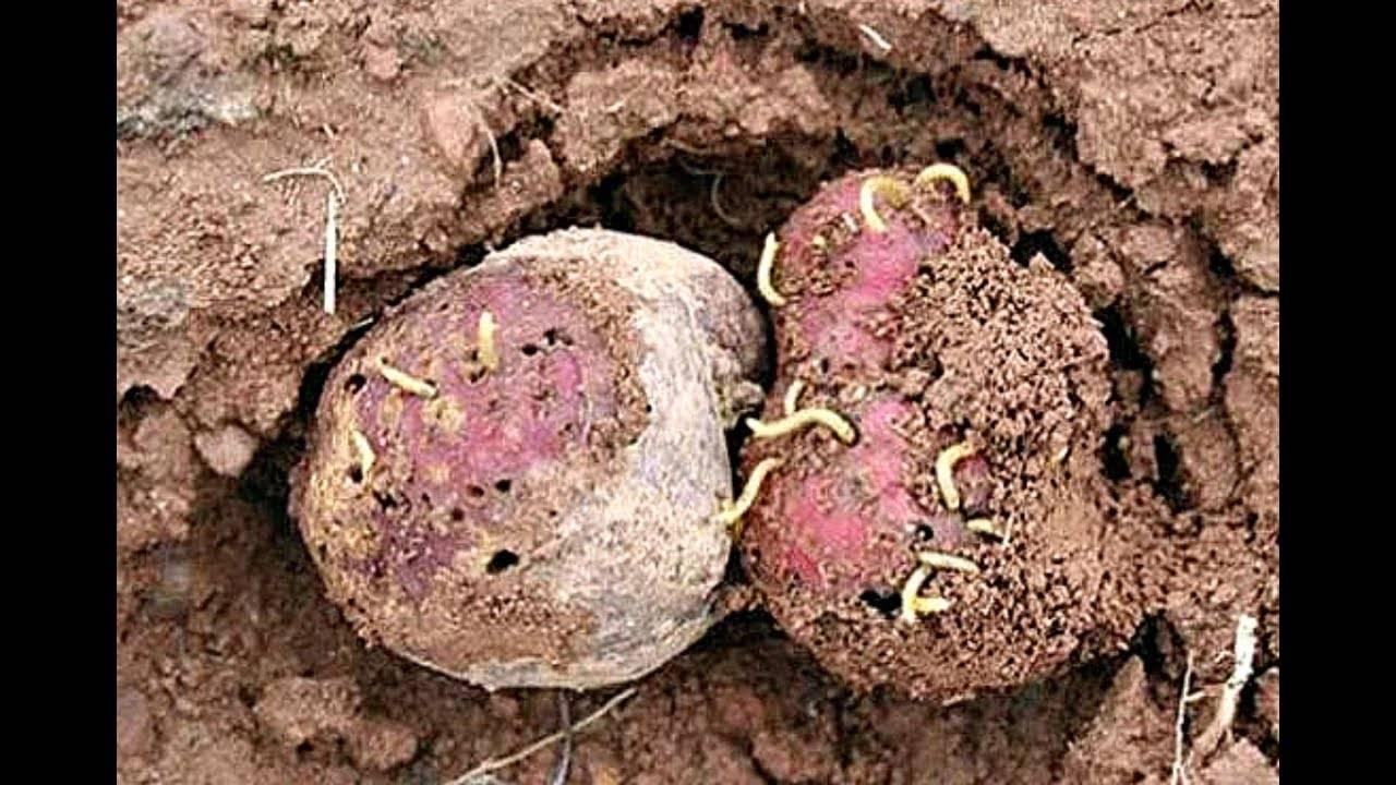 Как избавиться от проволочника на картофеле раз и навсегда