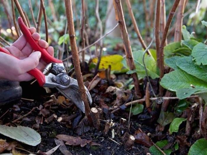 Уход за обыкновенной и ремонтантной малиной осенью, подготовка к зиме