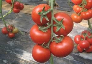 Сорта томатов устойчивые к фитофторе: топ-20