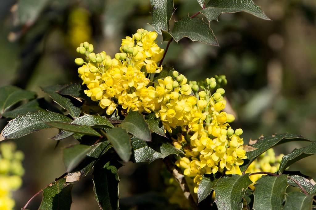 Магония падуболистная (mahonia aquifolium) — все о размножении кустарника