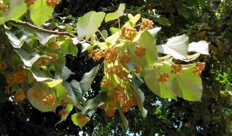 Карликовые ели: описание, разновидности и рекомендации по уходу