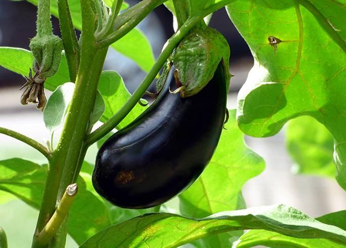 Польза баклажана и его вредные свойства — витамины, овощи, состав, калорийность и особенности овоща (110 фото)