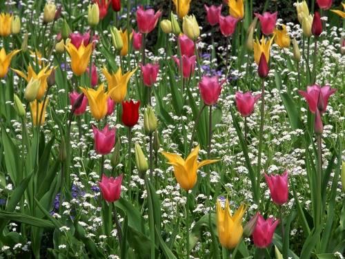 Все о синих и голубых тюльпанах