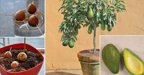 Как растет дерево авокадо: особенности роста, уход за растением и фото