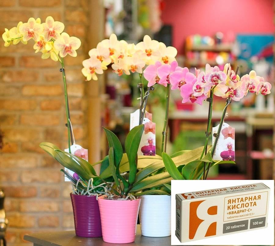 Чем полезна янтарная кислота при выращивании орхидей и как правильно ее применять?