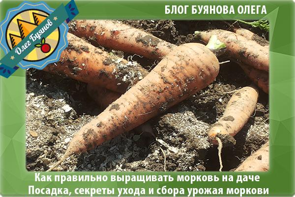 Как посадить морковь в открытом грунте и ухаживать за ней?
