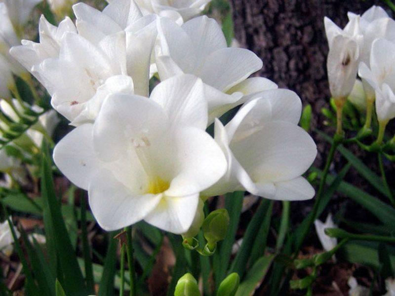 Тигридия – яркие цветы без забот