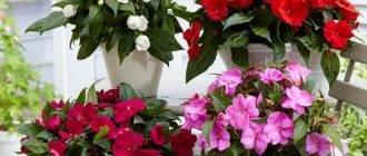 Болезни и вредители цветка бальзамина