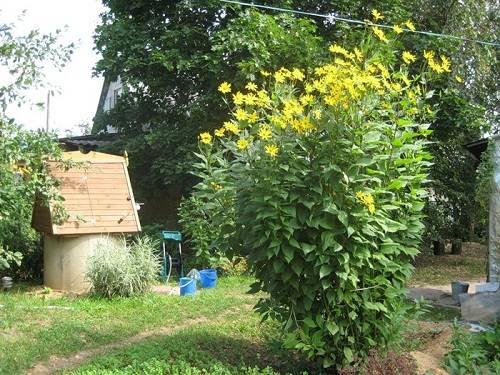 Топинамбур – вред и польза, выращивание на огороде