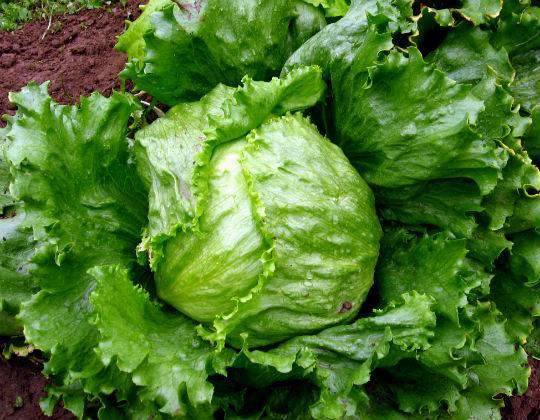 Выращивание салата из семян