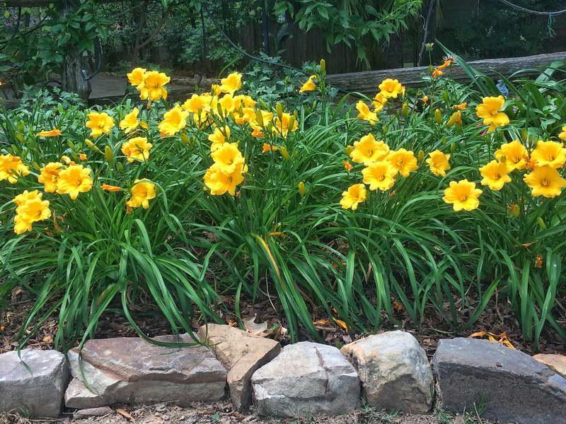 Посадка лилейников в открытый грунт весной и уход за ними