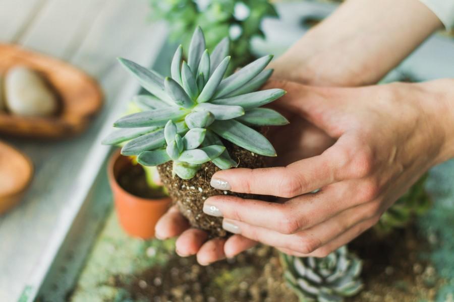 Как выращивать кактус опунция в домашних условиях