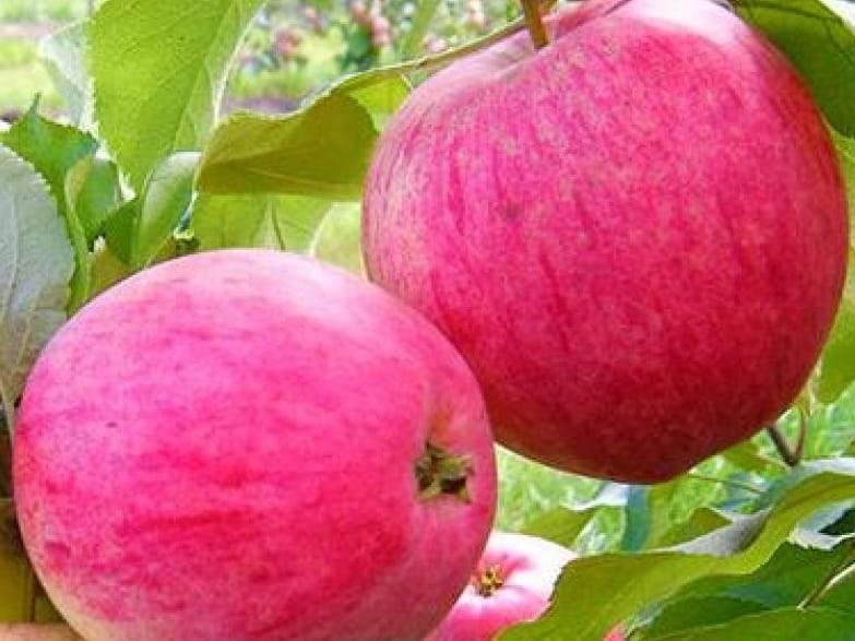 фото сорта яблок суйслепское изображение
