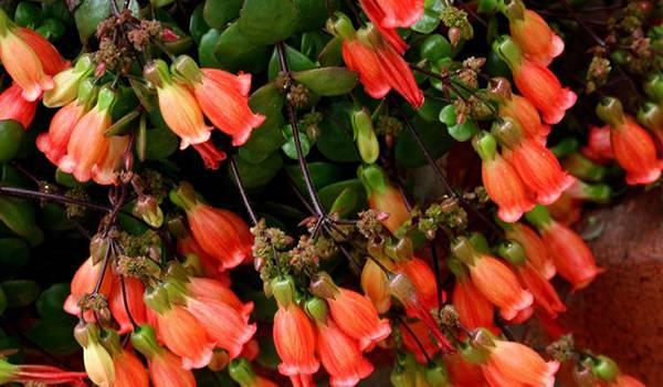 Каланхоэ (бриофиллум): описание и фото