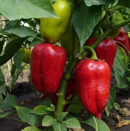 5 секретов выращивания сильной рассады перца, о которых знают только самые продвинутые дачники