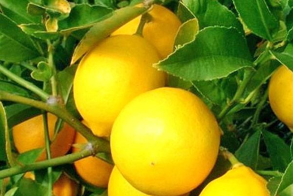 Особенности ухода за комнатным лимоном для получения ароматных плодов. обрезаем лимон правильно