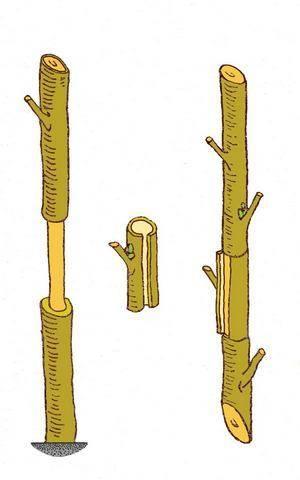 Способы, которыми размножается грецкий орех, и их описание в виде пошаговой инструкции