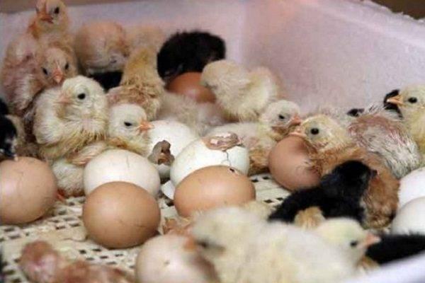 Клеточное содержание цыплят