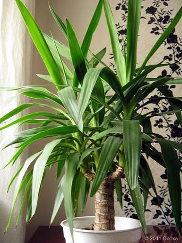 Особенности юкки алоэлистной, слоновой и других видов растения