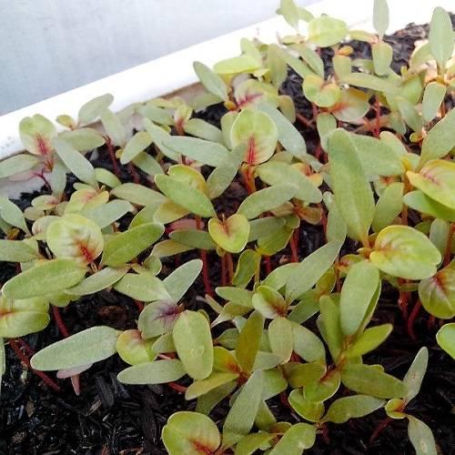 Амарант: посадка и уход, выращивание из семян
