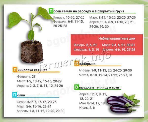 Сажаем свои баклажаны: когда сеять семяна на рассаду